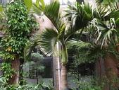 2015植物攝影11A:酒瓶椰子 (@台灣大學) (104.10.21拍攝) (1).JPG