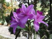 2015植物攝影1B:紫苞舌蘭(紫蘭) (@台北公館國小) (2).JPG