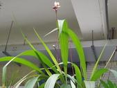 2015植物攝影1B:嘉多利亞蘭(加多利亞蘭) (@台北公館國小) (1).JPG