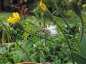 2015植物攝影11A:兔兒菜(兔仔菜)(Ixeris chinensis (Thunb.) Nakai) (@台北植物園) (5).JPG