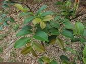 2015植物攝影11A:森氏紅淡比(森氏楊桐)(Cleyera japonica Thunb. var. morii (Yamamoto) Masamune) (@台北植物園) (1).JPG