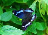 琉璃蛺蝶(上) 蟲體的奧妙 (蝶來.蝶趣之41):DSC_1563.jpg