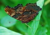 琉璃蛺蝶(上) 蟲體的奧妙 (蝶來.蝶趣之41):DSC_1569.jpg