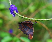 琉璃蛺蝶(上) 蟲體的奧妙 (蝶來.蝶趣之41):DSC_5321.jpg