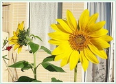 花卉:100_0530