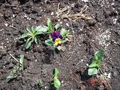 未分類相簿:度過第二個冬天----小紫花