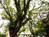 20080601 南澳朝陽步道:蓬萊國小 老樹.jpg