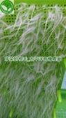 太平洋有機:芽菜的根毛IMAG0758.jpg