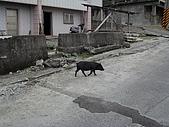97.10.11 夢的蘭嶼第貳天:路上處處有動物