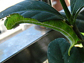 蟲蟲相片簿:080622肥蟲近況 008.jpg