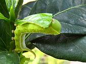 蟲蟲相片簿:080620蟲蟲變肥蟲 008.jpg