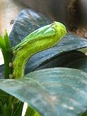 蟲蟲相片簿:080620蟲蟲變肥蟲 001.jpg