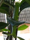 蟲蟲相片簿:080620蟲蟲變肥蟲 003.jpg