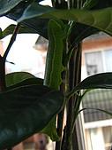 蟲蟲相片簿:080620蟲蟲變肥蟲 004.jpg