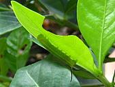 蟲蟲相片簿:080617花蟲 001.jpg