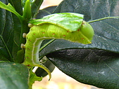 蟲蟲相片簿:080620蟲蟲變肥蟲 007.jpg