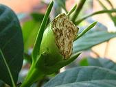 蟲蟲相片簿:080622肥蟲近況 001.jpg