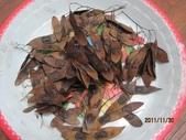 降香黃檀:降香黃檀種子