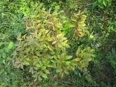 檀香(印度老山):紫紅葉品種檀香