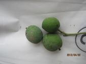 白柿:白柿小果