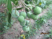 白柿:白柿果實