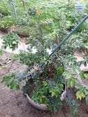 未分類相簿:早生型樹葡萄