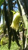 火龍果~玉里李清秋班長:這就是火龍果的花