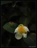 20080405 八卦茶園:P4052079-1.JPG