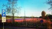 【2017。荷蘭】超極貴婦團之 庫肯霍夫花園Keukenhof 。羊角村:鬱金香花園