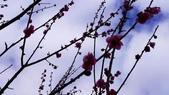 【2015-2018。在地好生活】三峽喜臨門,楓紅松盧福壽山.。武陵賞櫻團。九族文化村: