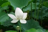 生活在台北 (Living in Taipei):台北植物園荷花池 (Lotus Pond, Taipei Botanic Garden) 1 July 2011