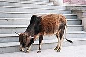 Rishikesh, March 2007:過河到了東岸。牛最大,先讓牠一步。
