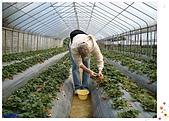 9802內湖草莓:小宗