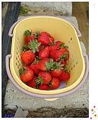 9802內湖草莓:豐收的草莓