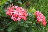 花草植物(XXVII):洋紅仙丹花04 中寮鄉永樂路和興國小.JPG