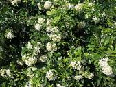 花草植物(II):月橘04 南投市大埤街28巷大埤登山步道.JPG