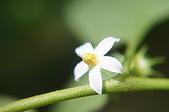 花草植物(XXVII):雙花龍葵09 竹山鎮山坪頂瑞龍吊橋附近.JPG