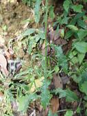 花草植物(II):裂葉艾納香05 南投市大埤街28巷大埤登山步道.JPG