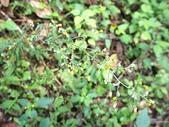 花草植物(II):裂葉艾納香04 南投市大埤街28巷大埤登山步道.JPG