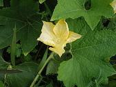 花草植物(XXVII):冬瓜08 南投市平和里信義街巷內.JPG