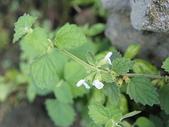 花草植物(II):白花草03 南投市大埤街28巷大埤登山步道.JPG