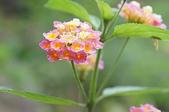 花草植物(XXVII):Pink Caprice馬櫻丹02 中寮鄉永樂路和興國小.JPG