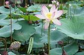 花草植物(XXVII):荷花06 中寮鄉永樂路和興國小.JPG
