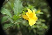花草植物(XXVII):小花黃蟬01 中寮鄉永樂路和興國小.JPG