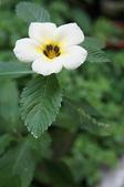 花草植物(XXVII):白時鐘花02 南投市平和里信義街巷內.JPG