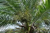 花草植物(XXVII):羅比親王椰子02 中寮鄉廣興村永平路廣英國小.JPG