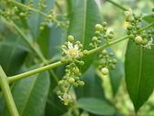 花草植物(XXVII):太平洋榲桲10 南投市平和里信義街巷內.JPG