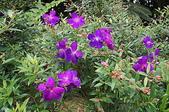 花草植物(XXVII):巴西野牡丹01 鹿谷鄉台大實驗林溪頭自然教育園區.JPG