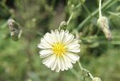 花草植物(XXVII):鵝仔草01 魚池鄉頭社村平和巷頭社水庫.JPG