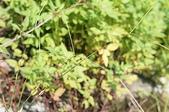花草植物(XXVII):兩耳草02 中寮鄉廣興村內湖仔生態公園.JPG